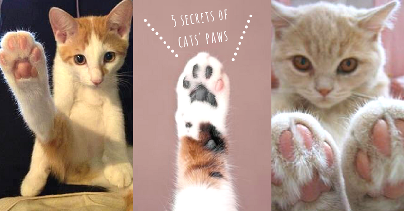 肉球不只是可愛而已!關於貓咪肉球~奴才一定要知道的5 個用處!