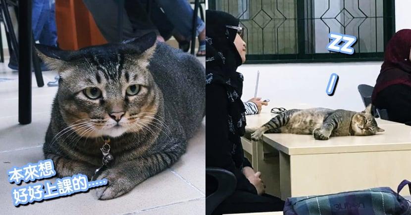 這堂課太催眠了!國外有貓咪趁老師上課時,竟大辣辣躺在桌上睡爽爽...網笑:好睡嗎?