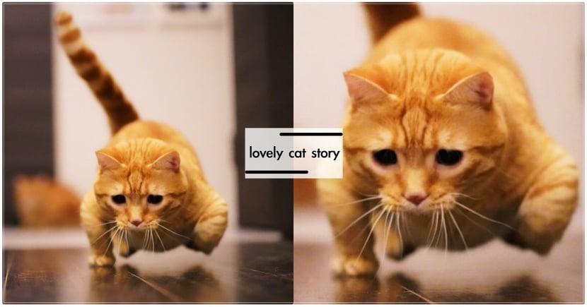 哥超猛!日本曼赤肯橘貓在練「單手伏立挺身」?錯位飛奔照笑壞粉絲!  網:果然短小精壯