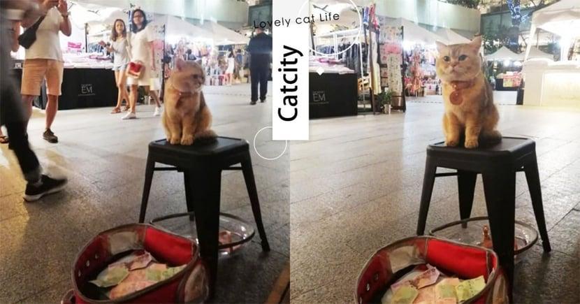 賣萌也是種才藝!泰國萌喵表演「厭世+發呆」贏得路人滿滿打賞!網羨炸:當貓真好