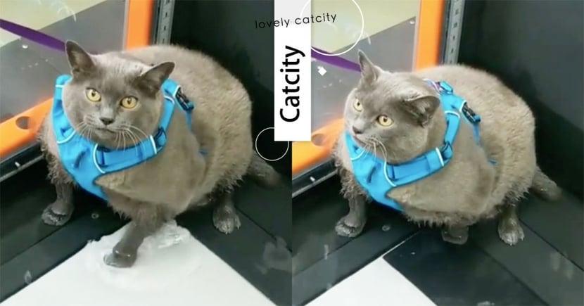 跑步機減肥!超重量級胖貓「超划水」,「單手撥兩下」全笑翻:好敷衍~