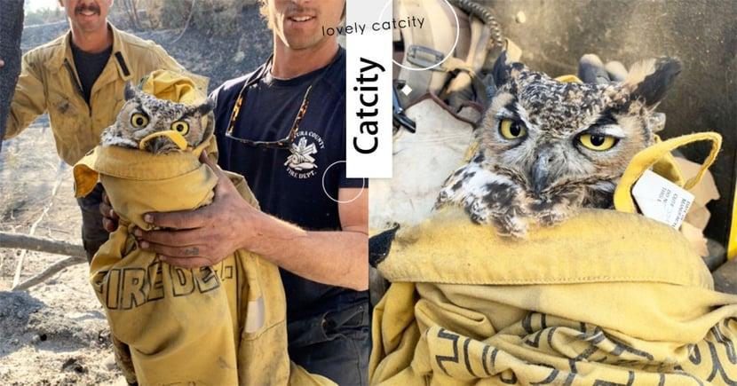 森林大火肆虐!貓頭鷹被打包獲救,從驚訝秒轉厭世:「人家還想睡ZZ」