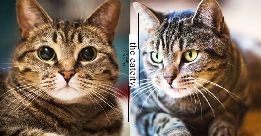【米克斯】虎斑貓個性 8 大分析!「傲嬌、暴躁」最具反差萌