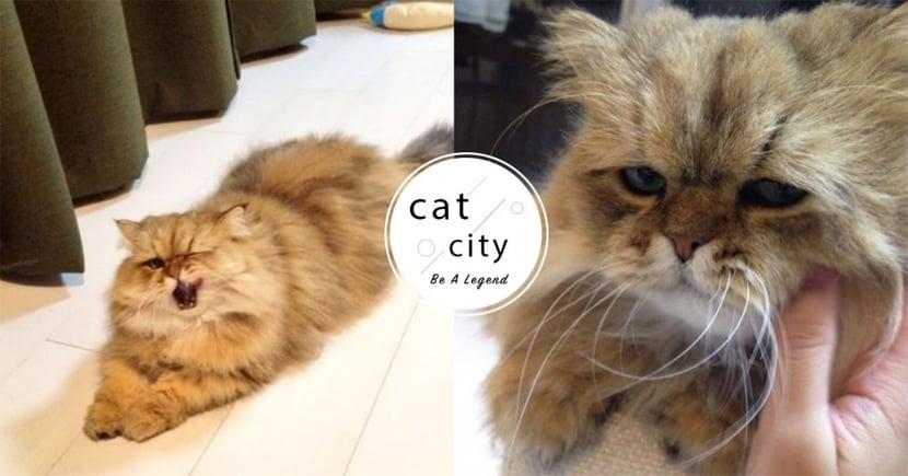 【貓咪發情】撒嬌狂蹭、趴低露屁!關於母貓的 4 種發情現象