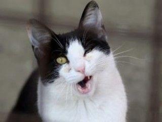 貓咪口炎,口腔糜爛,貓咪醫療健康