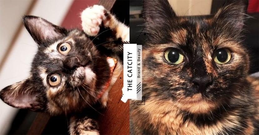 【米克斯】玳瑁貓 7 大個性分析!溫柔脾氣好,養過都說讚的「極品軟萌妹子」