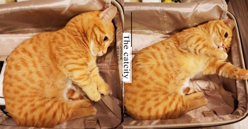 出去都不揪!日本短腿橘貓「打包自己」,抓繩委屈惹人憐:「為啥不帶偶去~」