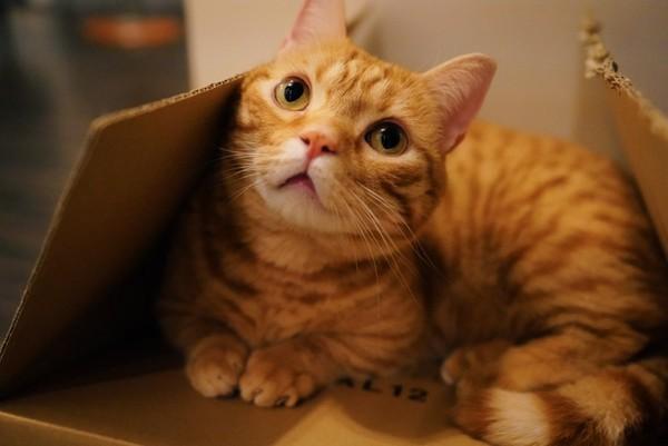 貓咪,日本,橘貓