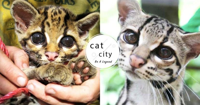 最萌貓科動物!「長尾虎貓」擁有靈動大眼,沒想到是「攀樹高手」還會抓猴子!