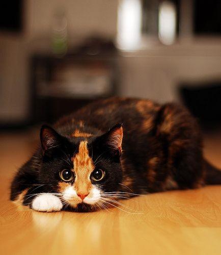 貓咪依附,依賴情感,貓咪