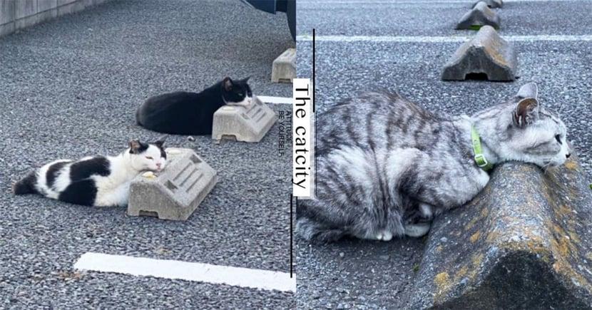 把擋板當枕頭!日本停車場貓咪「饋頭趴睡」,神邏輯系列網笑翻!