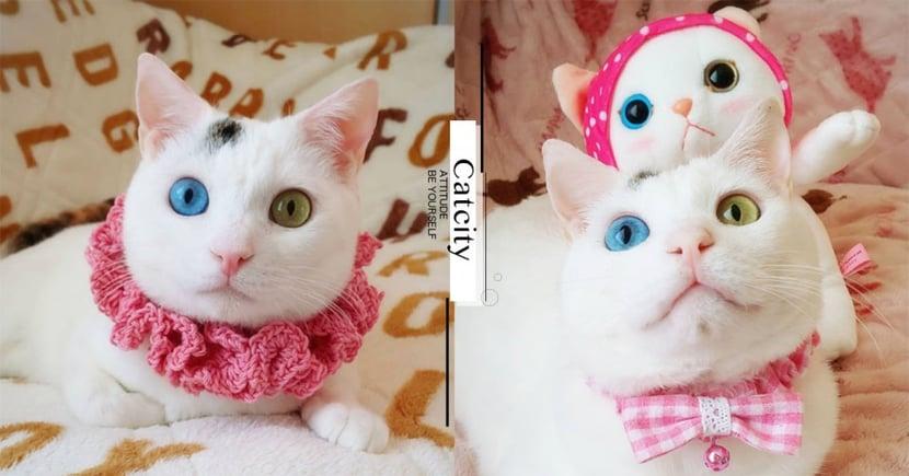 跟玩偶一樣!異瞳白貓「雙眼鑲寶石」,獨特「藍、黃眼」超美麗!