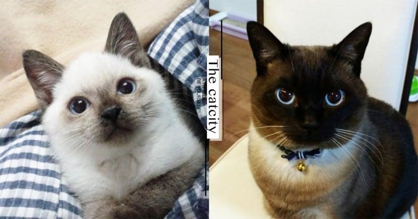 那些冬天變黑的貓!日本推特「暹羅貓變臉大賽」,前後照片對比引熱議!
