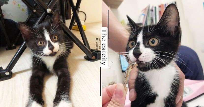 幼貓轉手收編!賓士貓黑鼻心超獨特,網笑:「妙鼻貼忘了拔啦!」