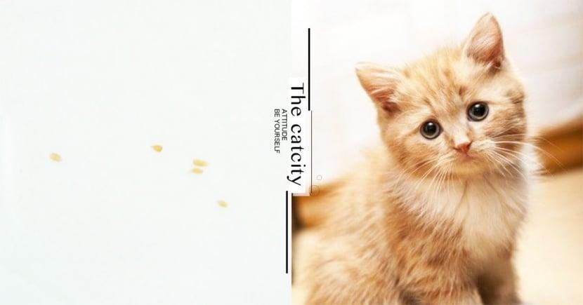 【貓咪健康】家裏出現芝麻粒?小心貓貓被「絛蟲」寄生啦!