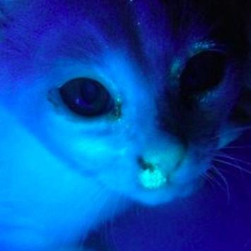 貓蘚,伍氏燈,真菌