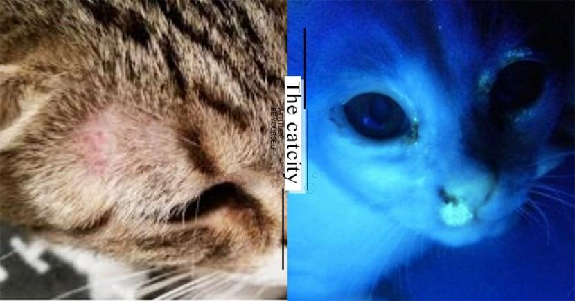 【貓是否有貓蘚】用燈照就看得出來?獸醫常用「伍氏燈」竟能一覽無遺!