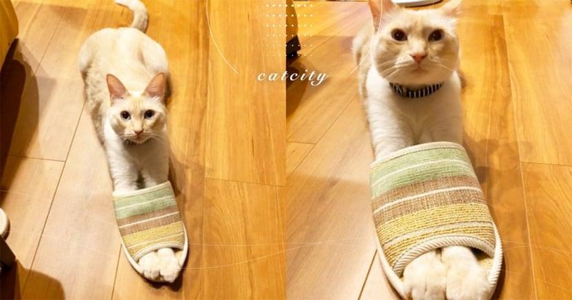 日本推主聽到貓咪發怪聲,轉頭後驚見這幕笑噴 奴:幹嘛偷穿我的鞋