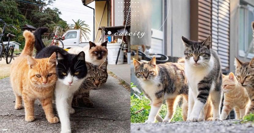 日本浪貓老大出場「氣場強大」,自帶小弟走路超有風 網:收保護費啦