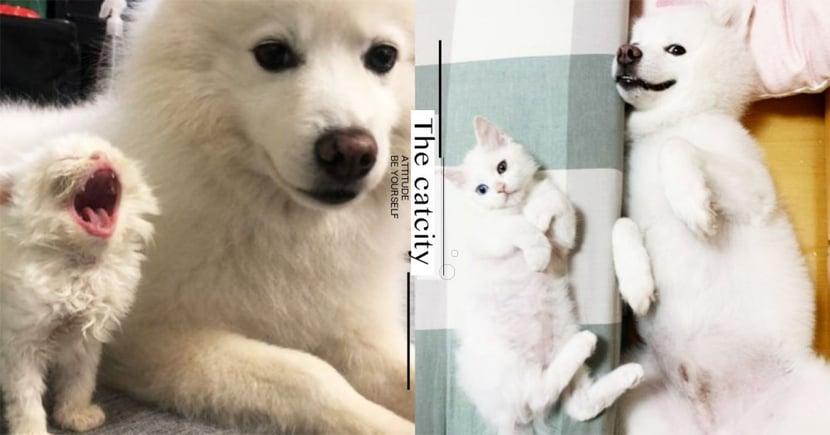 躺床露肚萌翻!狐狸犬被貓同化,兄弟表情超有戲 網:白色生物超可愛