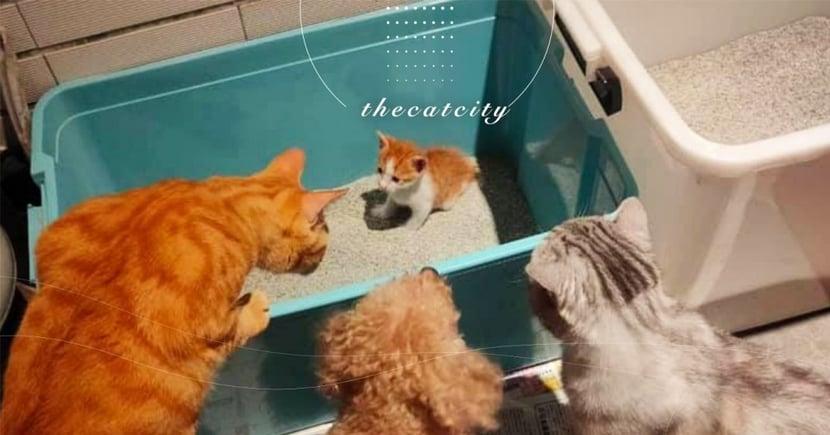 新來小貓「上廁所被圍觀」,三個保鏢輪流教導 網笑翻:壓力山大