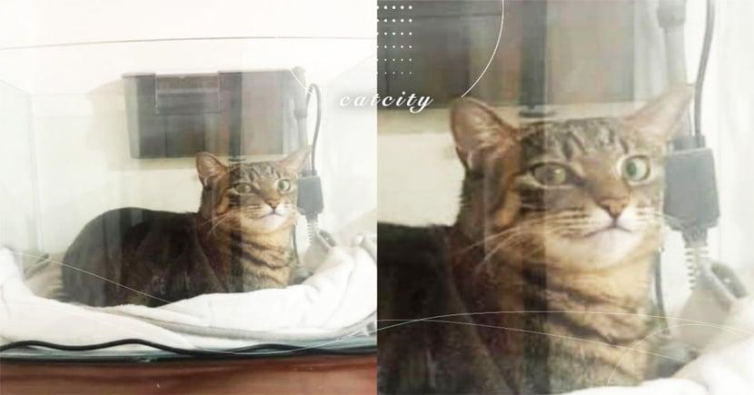 虎斑貓把魚缸當貓窩,對鏡頭露出「得意笑容」 網笑:根本透天玻璃屋