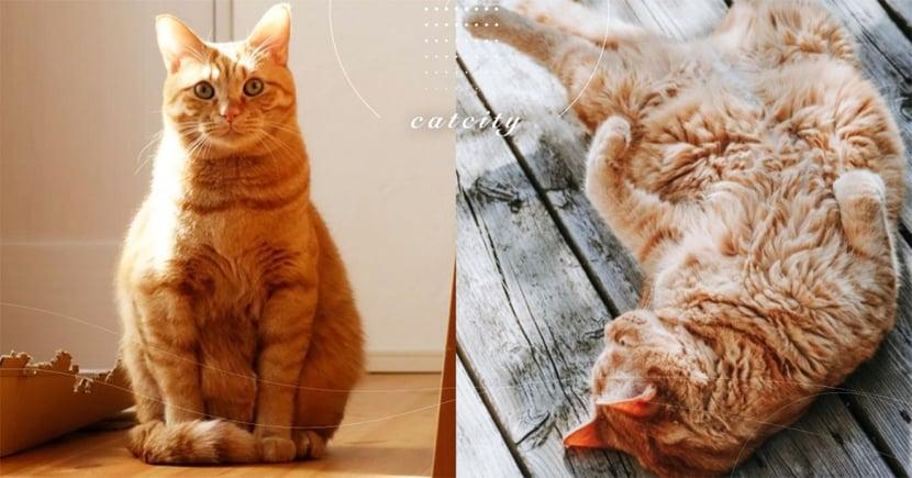 【貓咪減肥】胖貓身體易有狀況!「六步驟」教你如何幫貓瘦身