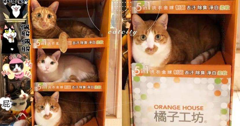 透天厝「橘子工坊」專收橘貓,三隻住好住滿 網笑:還可淨白除臭