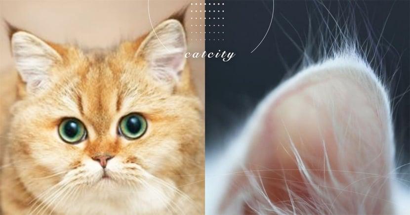 【貓咪冷知識】貓耳尖小撮毛的特殊作用?這是「聰明毛」可千萬別剪掉!