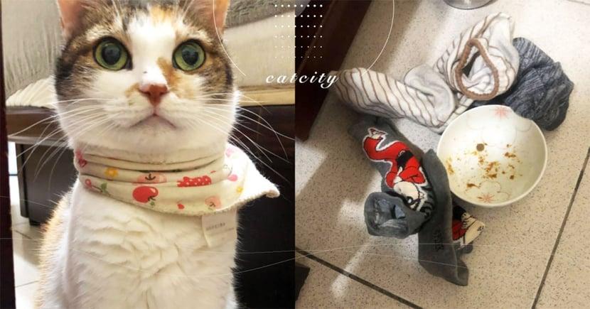 三花貓專挑「臭襪子」,掩蓋吃不完食物 網笑:竟把襪子當遮菜罩!
