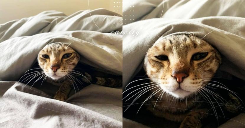 冷成這樣!虎斑貓「瞇眼收耳」躲棉被表情超厭世,網:別叫我起床