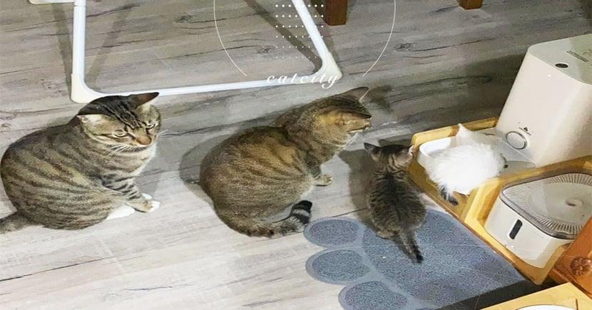 4隻貓排隊「大讓小」等飯吃,最後一隻直接眼神死 網笑:吃不到了