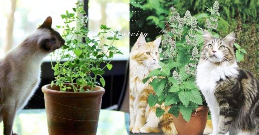 【貓薄荷影響】貓吃多不適?聞到沒反應?關於貓薄荷對貓的 3 點影響!