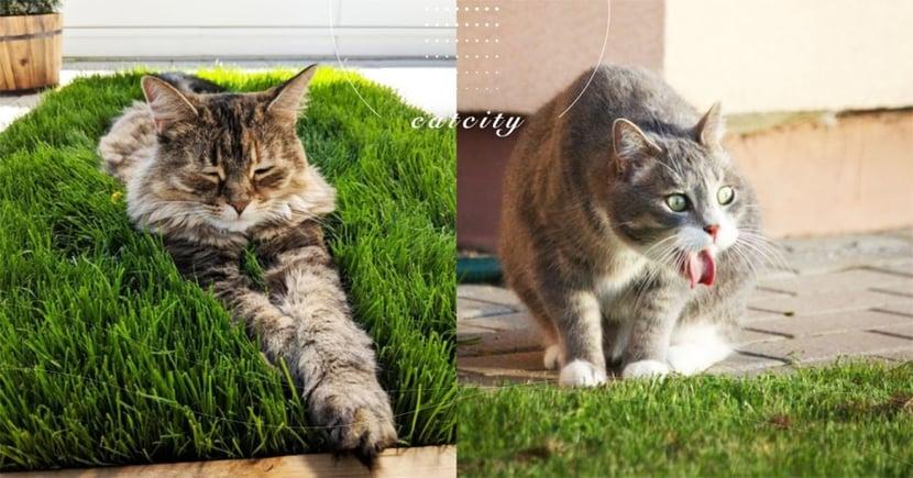 貓草、木天寥、貓薄荷有何差別?吃多好嗎?關於「貓大麻常識」,貓奴知多少!