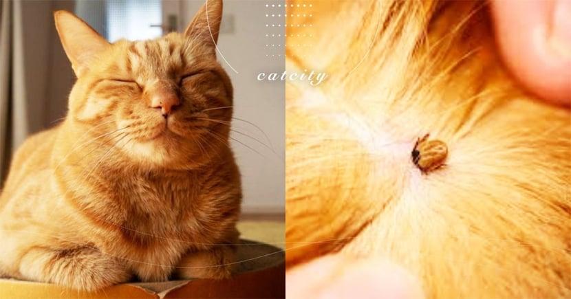 【消滅壁蝨】貓也會有壁蝨?正確「除壁蝨」三步驟,貓奴必學!