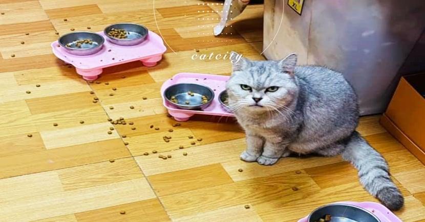 轉食混飼料!16歲老貓「不爽怒瞪」,吃飯直接灑一地 奴:牠一直呸出來