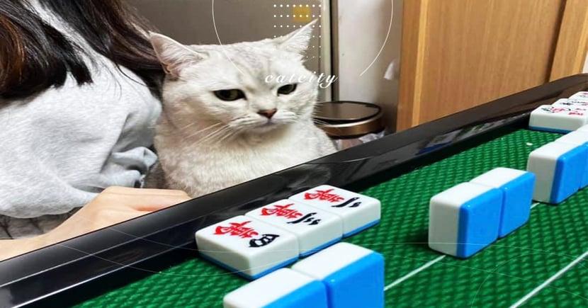 過年打麻將貓咪看牌「面露難色」,網笑:完了,罐罐錢沒了!