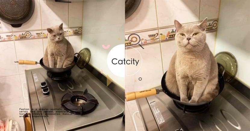 逢鍋必進!瓦斯爐「放鍋必長貓」,藍貓表情驕傲 奴才無奈:想被煮?