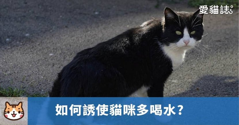 【貓為何不愛喝水】 如何誘使貓咪多喝水?6 種建議方法,讓貓咪自動喝水!