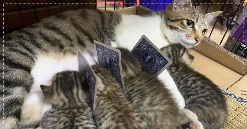 喝奶也要防疫!奴才自製「撲克牌隔離版」分離小貓,網友笑翻:以為一蘭拉麵喔