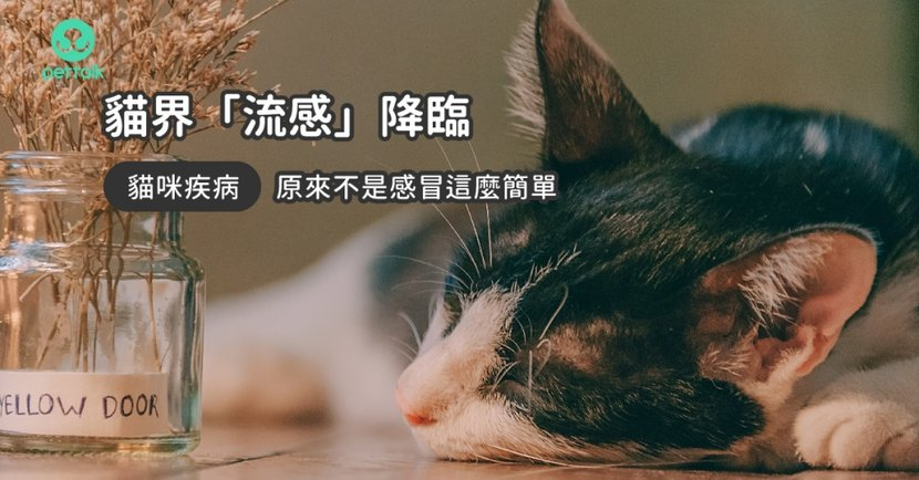 【貓咪鼻氣管炎】貓常打噴嚏、發燒?關於「貓咪鼻氣管炎」常見 4 種症狀!