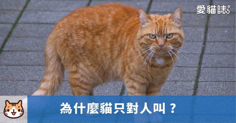 【貓一直叫】貓只對人叫,卻很少對同類叫?原來貓咪溝通方式是這樣!