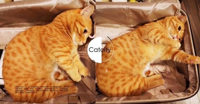 拜託帶偶去!日本曼赤肯橘貓「一臉委屈」躺行李箱,網笑翻:牠打包自己