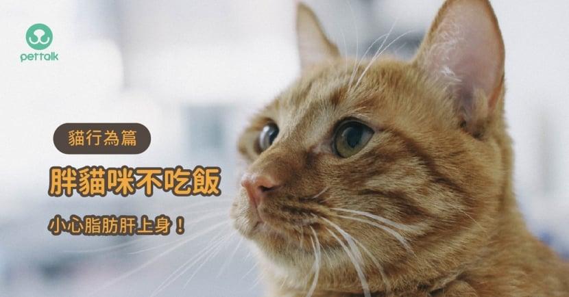 【貓咪減肥】胖貓咪減肥要注意!3 種不吃飯原因和可能引發的脂肪肝問題!