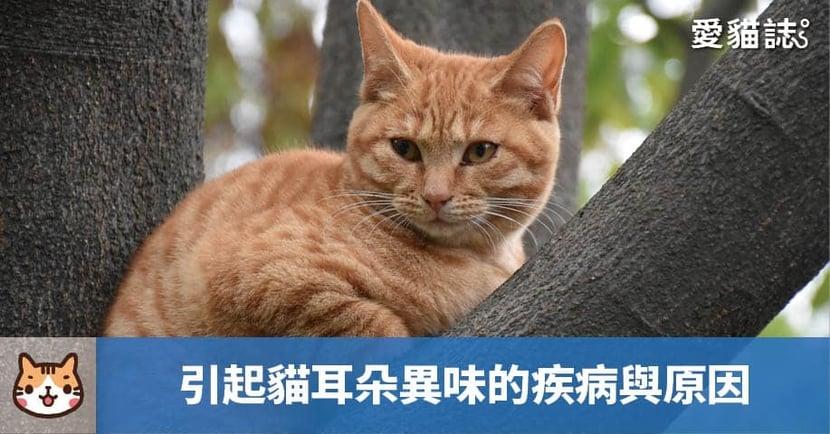 【貓耳朵臭臭的?】貓耳朵聞起來怪怪的?4 種引起貓耳朵異味的疾病與原因!