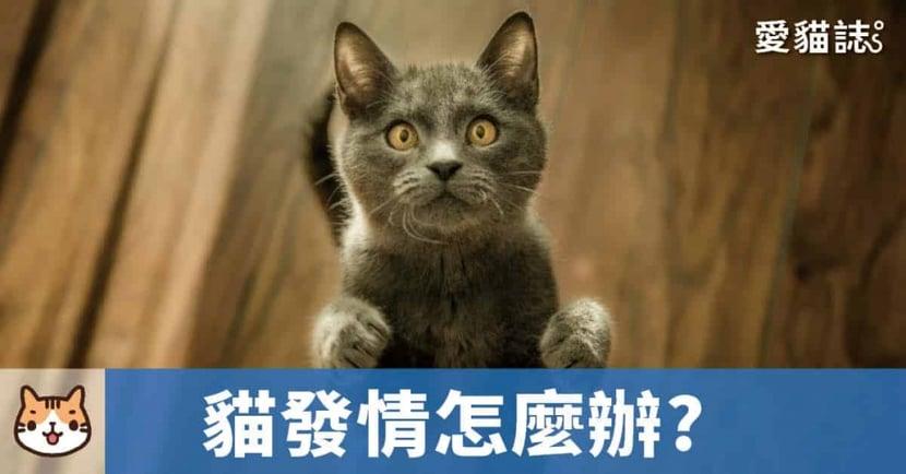 【貓咪發情怎麼辦】新手貓奴必讀!一文解析「貓咪發情照顧」總整理!