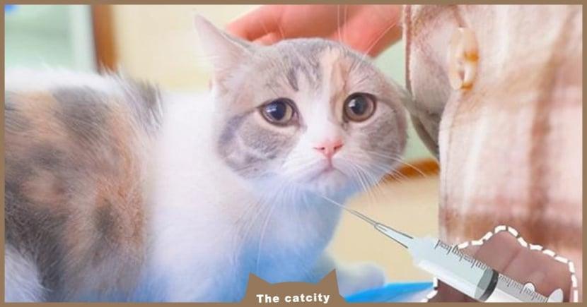 【貓咪打疫苗懶人包】三合一疫苗多久打?多少錢?關於貓咪疫苗必知的事!