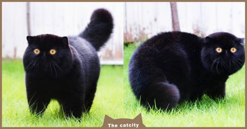 黑色顯瘦?超萌黑貓「體型圓滾滾」超肥美,網笑翻:這是大熊吧