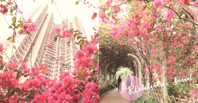 春天就要賞杜鵑!長沙灣30米長唯美「粉紅隧道」,春天限定的打卡美景〜