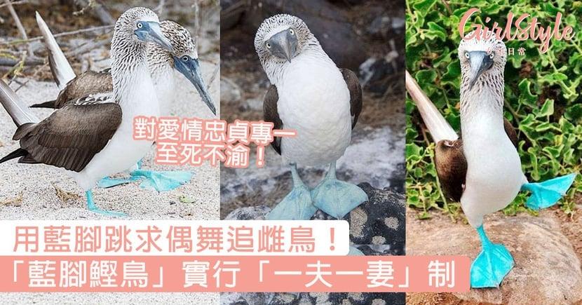 用藍腳跳求偶舞追雌鳥!「藍腳鰹鳥」實行「一夫一妻」制,對愛情忠貞專一至死不渝!